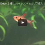 【アクアリム】90cm水槽に新しい仲間を導入した様子を動画にしました