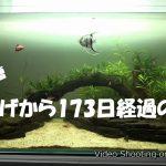 【アクアリウム】90cm水槽立上げから173日経過後の様子(動画)