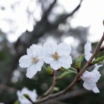 【散歩】桜見に行くか!ヒマだし!!~進雄神社~
