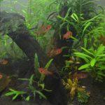【アクアリウム】水草が茂ってきて、レッドファントムの良い隠れ家になってる!