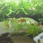 【アクアリウム】90cm水槽の水草が育って、さかなの良い隠れ家になってきた!